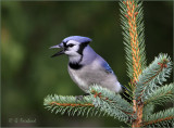 Spruced Up Bluejay In The Blue Spruce