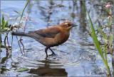 Rusty Blackbird :-)