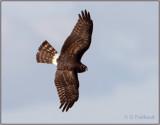 Harriercrop.jpg