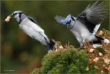 A Little Bluejay Action