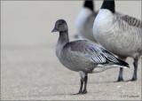 Juvenile Dark Morph Lesser Snow Goose