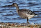 Lesser Snow Goose Juvenile Dark Phase