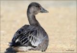 Sun Bathing Blue Goose