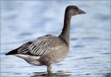 On Alert / Dark Phase Snow Goose