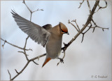 Avian Angel / Bohemian Waxwing