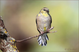 Autumn's Desaturation Of The American Goldfinch