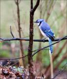 Blue-Jay-portrsit.jpg