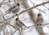 Common Redpoll Grouping