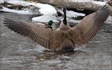Goose Flashes a Mallard