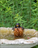 American Robin in the Bird Bath