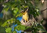 Leaving the nest? Baltimore Oriole Fledging