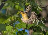 Baby Baltimore Oriole wants to fly