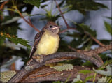 Baby Great Crested Flycatcher has fledged.