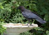 Juvenile crow checking out the birdbath
