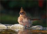 Baby Cardinal Bath Time