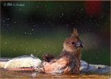 Bathtime for the baby cardinal