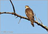 Coopers Hawk..