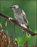 Yellow Rumped Warbler   Juvenile