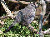 Young Catbird