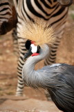 Crown Crane with the Zebras