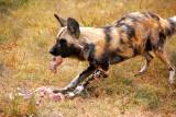 Wild Dog in action