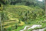 Step Rice fields in Bali