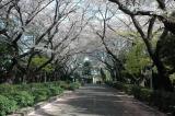 Sakura ceiling