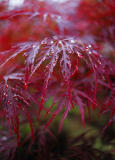 Maple leaves smiling to the rain drops