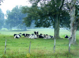 Cows under tree takin' a snooze
