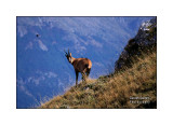 Camoscio d'Abruzzo - Abruzzi chamois - (Rupicapra pyrenaica ornata )