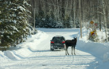 This vehicle had to swerve around it to get past ....and still the moose stayed