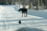 This bird seemed too interested in this moose