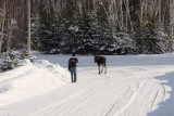 Moose headed towards highway - friend cut him off to prevent it