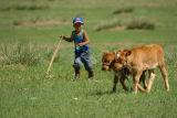 Herding the calfs