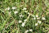 Annual Aster (Aster sublatus)