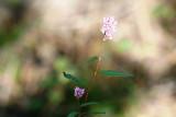 Smartweed, Swamp (Polygonum hydropiperoides)