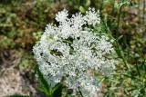 Mock Bishops-Weed (Ptilimnium nuttallii)