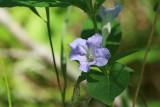 Low Ruellia (Ruellia humilis)