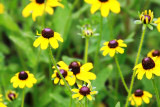 Clasping-Leaved Coneflower (Dracopis amplexicaulis)