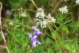 Low Ruellia and Spotted Bee Balm