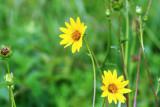 Simpson Rosinweed (Silphium gracile)