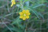 Angle Stem Water Primrose (Ludwigia leptocarpa)