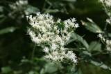Later Flowerimg Bonset (Eupatorium serotinum)