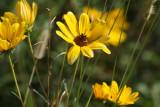 Narrow-leaved Sunflower Helianthus angustifolius