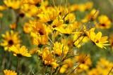 Narrow-leaved Sunflower 1 Helianthus angustfolius.JPG