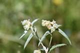 Wooly Croton (Croton Capitatus)