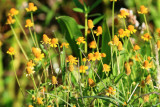 Creeping Spotflower (Acmella oppositifolia)