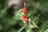 Turks Cap (Malvaviscus arboreus)