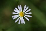 Annual Aster (Symphyotrichum divaricatum)