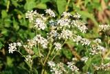 Frostweed (Verbesina virginica)
